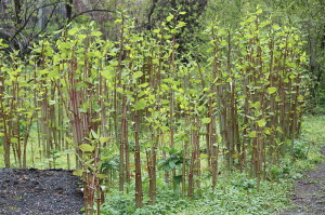 Japanese Knotweed Grove