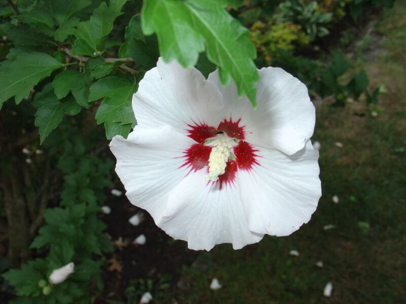 Rose of Sharon Flower