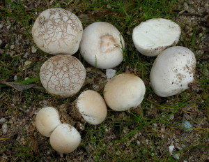 Puffball Mushroom, You'll Be Ok If You Follow One ID Feature - Eat