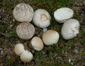 Bovista Puffball Mushroom