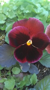 Violet flowers always have a lower center petal in front.