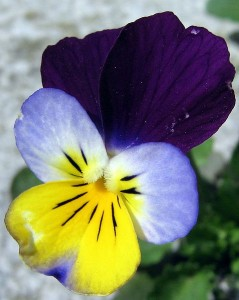Blue, white, yellow and purple are common colorations together or apart