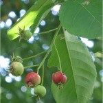 Amelanchier lamarckii fruit and leaves