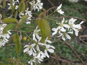 Amelanchier canadensis, Shadblow Servicberry flowers