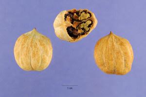 Carya glabra, Pignut Hickory Nuts
