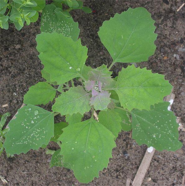 Chenopodium album, Lamb's Quarters leaf