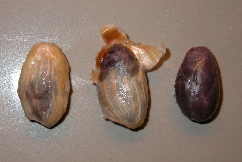 Cocoa seeds with and without mucilage coating