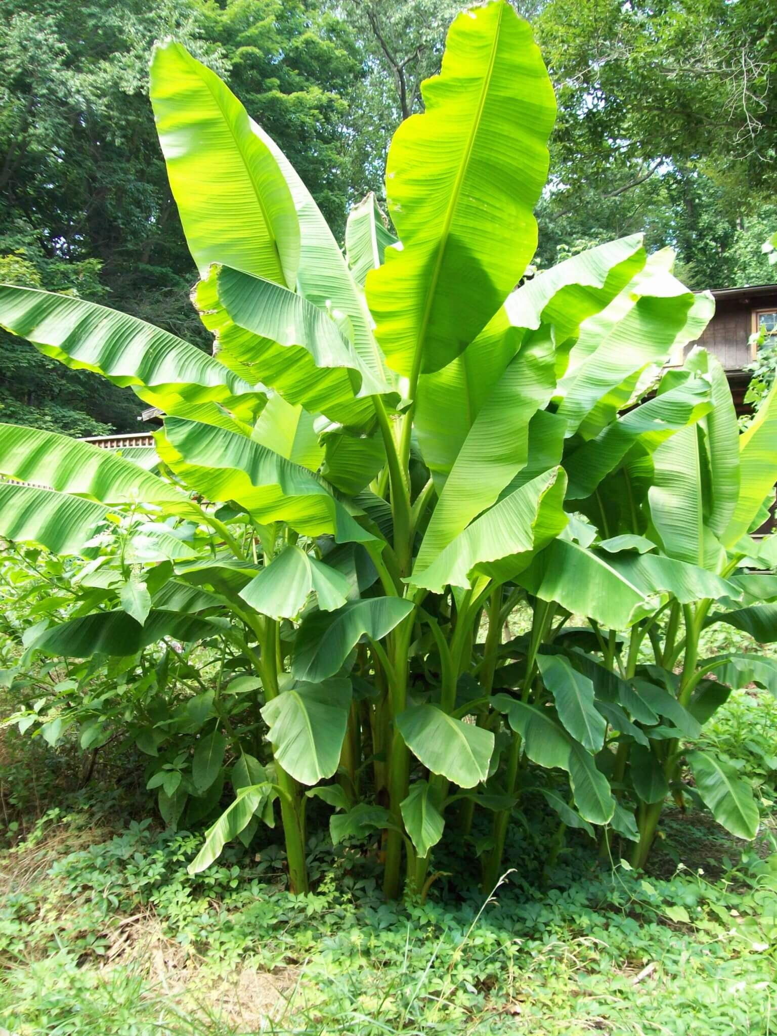 Musa basjoo, Japanese Banana growing in USDA Zone 5