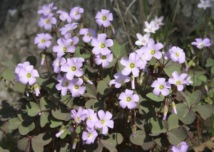 Oxalis violaceae, Violet Wood Sorrel leaves and flowers