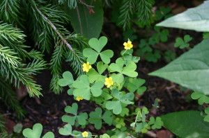 Oxalis stricta, Common Yellow Wood Sorrel leaves, flowers and seedpod