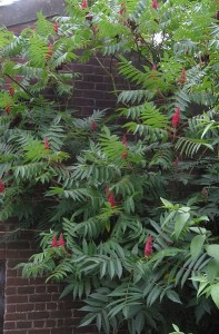 Rhus typhina, Staghorn Sumac fruit cluster
