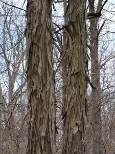 Carya ovata, Shagbark Hickory trunks