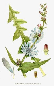 Cichorium intybus, Chicory Lower Leaves, Upper Leaves, and Flowers