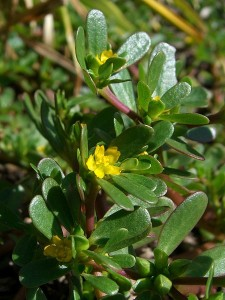 PPortulaca oleracea, Purslane Leaves and Flowers