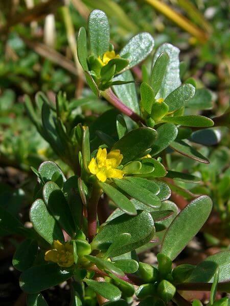 PPortulaca oleracea, Purslane Leaves and Flowers