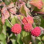 Cornus kousa, Kousa Dogwood Fruits