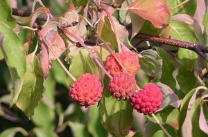 Cornus kousa, Kousa Dogwood Fruit