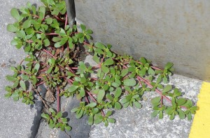 Portulaca oleracea, Purslane