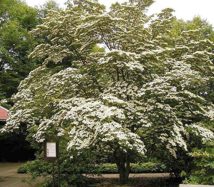 Dogwood Tree Kousa
