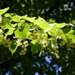 Tilia cordata, Small leaved Linden leaves and flower bunches