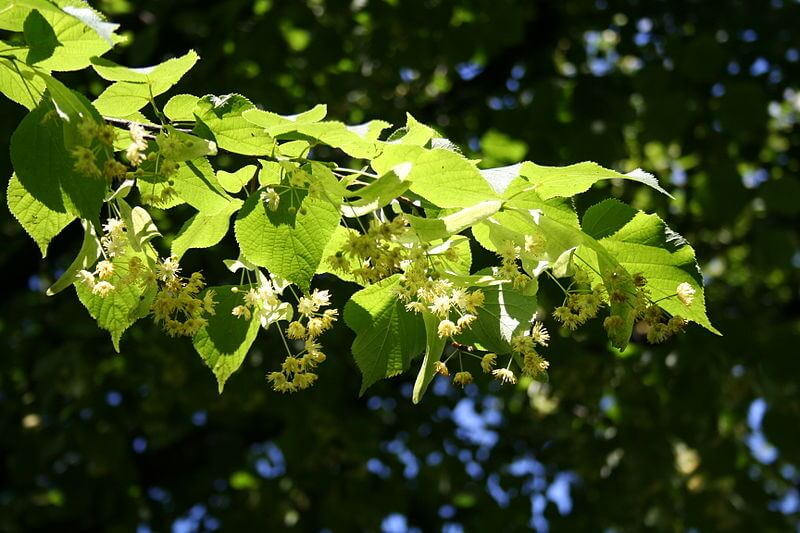 Linden Tree, Tilia cordata, Small leaved Linden leaves and flower bunches