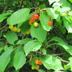 Prunus avium, Sweet Cherry leaves and fruit