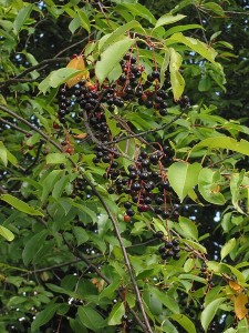 Prunus serotina, Black Cherry leaves, fruit and twigs