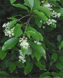 Prunus serotina, Black Cherry leaves and flowers