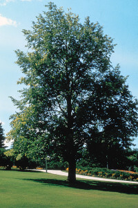 Tilia americana, American Basswood uniform shape
