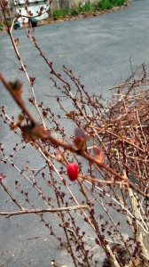 Berberis thunbergii, Japanese Barberry Fruit in winter