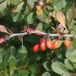 Berberis thunbergii, Japanese Barberry fruits and leaves