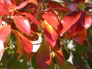 Nyssa sylvatica, Black Tupelo fall foliage