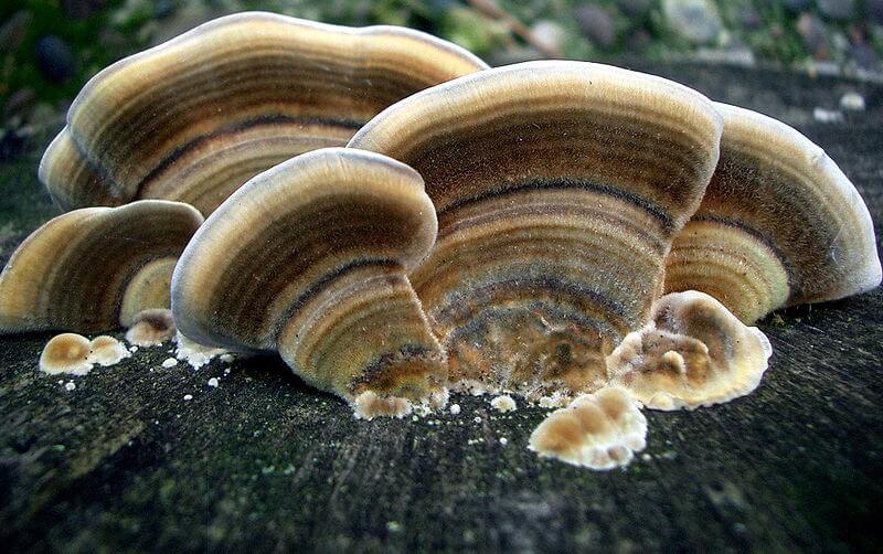 Trametes versicolor, Turkey Tail Mushroom