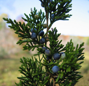 eastern red cedar berries and foliage