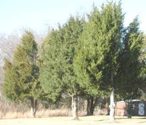 Juniperus virginiana tree shape and size