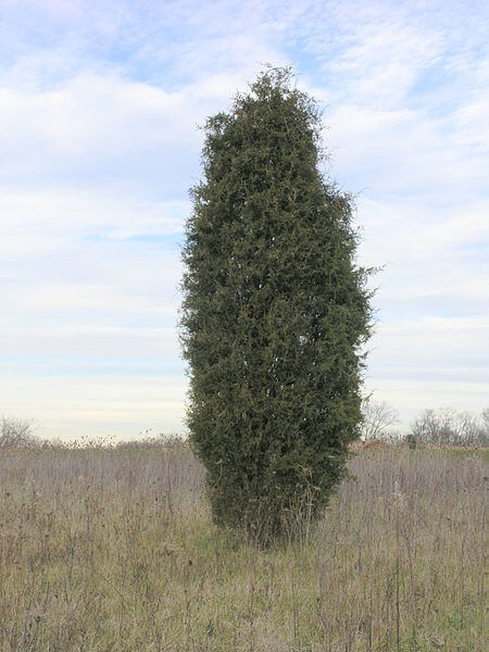 Juniperus virginiana young tree shape