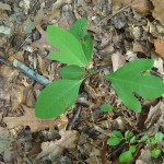 Sassafras albidum leaf shapes
