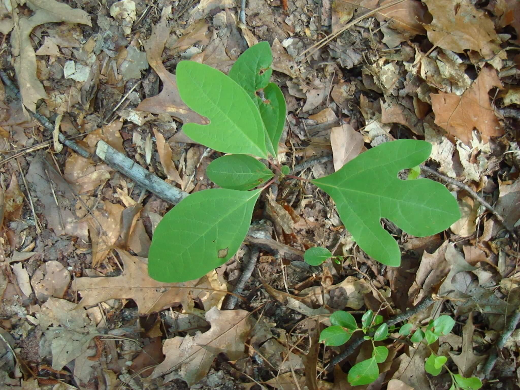 Sassafras albidum leaf shapes