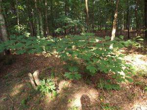 Sassafras Leaf (Saplings)