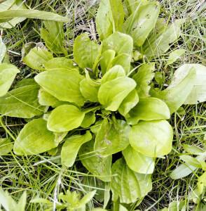 Plantago ruglii,