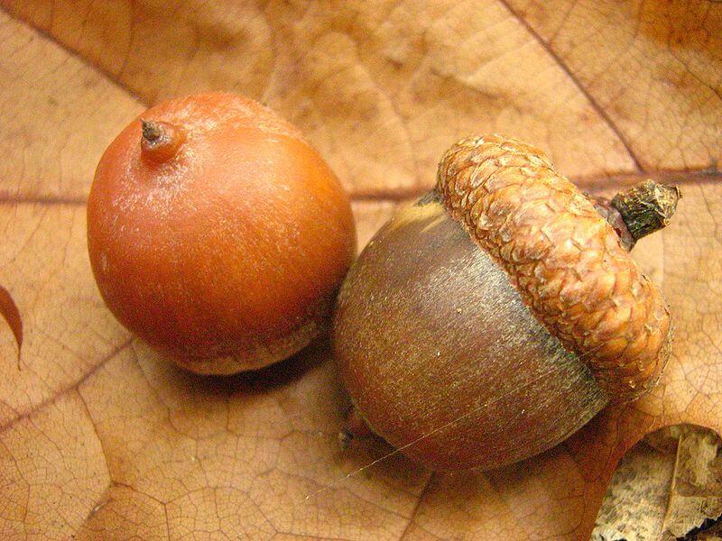 Quercus rubra acorns