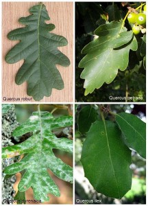 Various Oak Leaves