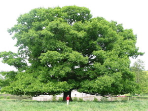 Large Quercus rubra, Red Oak shape and size
