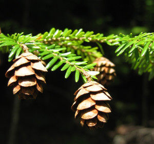 Tsuga Canadensis needles and cones