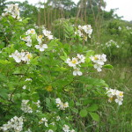 Multiflora Rose, An Invasive But Nutritious Wild Edible