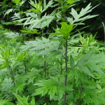 Mugwort, an Abundant Medicinal and Culinary Herb