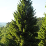 Spruce – Surprisingly Edible Abundant Evergreen Tree