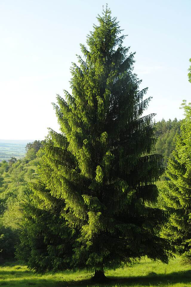 Norway Spruce (Picea abies)