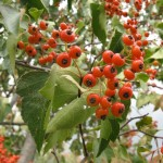 Hawthorn, an Ornamental Tree With Edible Fruit