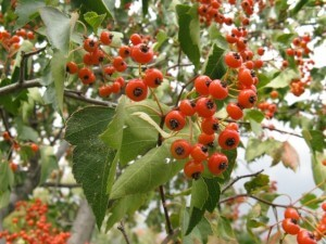 Crataegus phaenopyrum, Washington Hawthorn leaves and berries